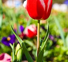 Tall Poppy - Floriade 2009 by rebca