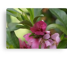Minature peach tree in bloom; My Garden, La Mirada, CA USA, Lei Hedger Photography All Right Reserved Canvas Print