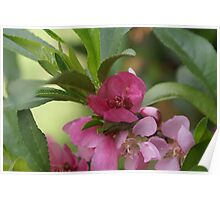 Minature peach tree in bloom; My Garden, La Mirada, CA USA, Lei Hedger Photography All Right Reserved Poster