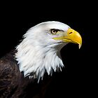 Bald Eagle by Gerry Danen