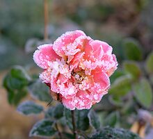 Frosted rose by Nordlys