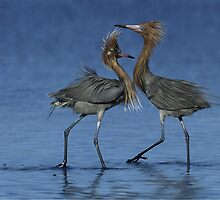 REDDISH EGRET ( Egretta rufescens) #4 (NOT A PHOTOGRAPH) by DilettantO