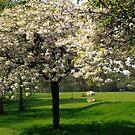 Cherry Blossom Time by John Gaffen