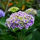 Hydrangeas by Keith G. Hawley