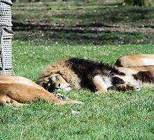 Lions sleeping by rhallam