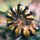 caterpillar - cairns, queensland by col hellmuth