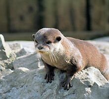Otter 2 by rhallam