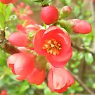 Japanese Quince.. by supernan