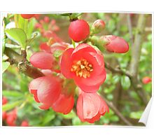 Japanese Quince.. Poster