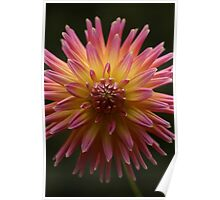 Pink and Yellow Dahlia, Alfred Nicholas Gardens Poster