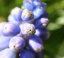 Grape Hyacinth Close Up by roskolewis