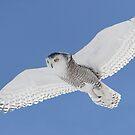 White On Blue / Snowy Owl by Gary Fairhead