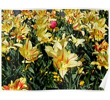 Hybrid Tulips in Yellow Poster