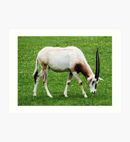 Scimitar-horned oryx 4 Art Print
