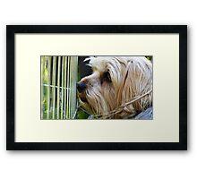 Little york dog Framed Print