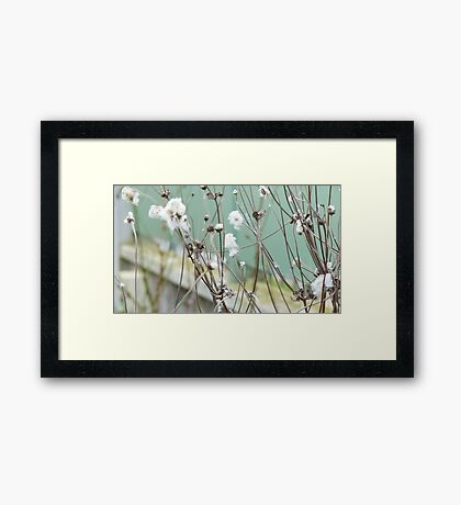 Cotton plant Framed Print