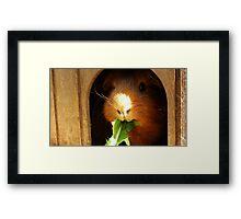 Cute guinea pig eating Framed Print