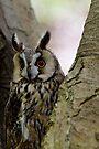 Long Eared Owl in Tree by David Carton