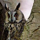 Long Eared Owl in Tree by buttonpresser