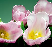 Tulips by Rob Byron