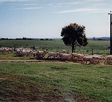 Our Shorn Sheep returning to the paddocks. 'Arilka'. by Rita Blom