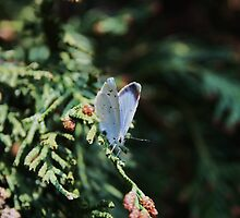 Holly Blue by artsandherbs