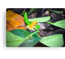 Golden Poison Dart Frog  Canvas Print