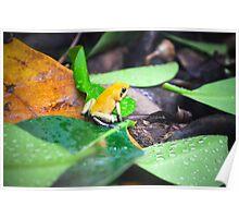 Golden Poison Dart Frog  Poster
