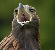 Golden Eagle by Sue Earnshaw