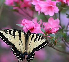 Yellow Butterfly on Pink Azalea by DebbieCHayes
