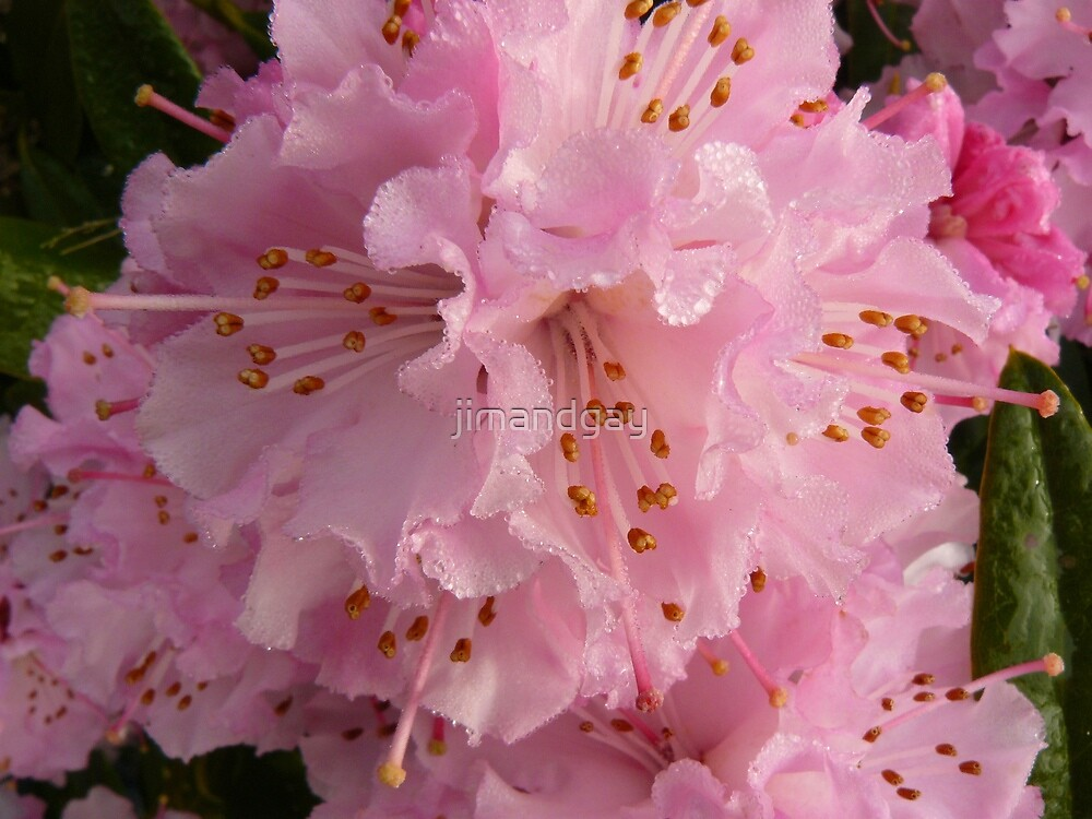 first rhododendron of the season by jimandgay