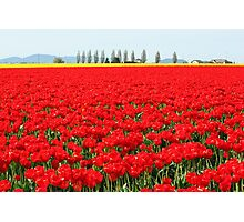 Fire Engine Red Tulips Photographic Print