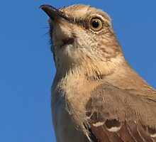Mockingbird Portrait by William C. Gladish