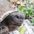 Gopher Tortoise by Jeanie93