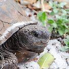 Gopher Tortoise by Jeanie93