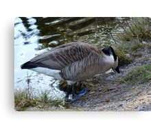 Water World - Mother Goose Grazing Canvas Print