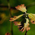 oak by Phillip M. Burrow