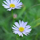 Daisy Days by MissyD