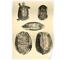 The Reptiles of British India by Albert C L G Gunther 1864 0489 Cuora Flavomarginata, Cyclemys Oldharai Turtle Poster