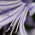 Lilac Flower Close-Up by Carel du Preez