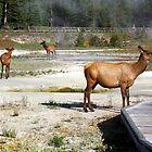 Wildlife in West Thumb Geyser Basin, Yellowstone NP by Teresa Zieba