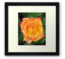 Orange red and yellow rose Framed Print
