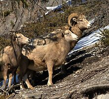 Rams of Banff by JamesA1