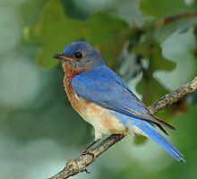 Eastern Bluebird by photosbyjoe