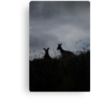Kangaroos enjoying an early breakfast - Hunter Valley NSW Canvas Print