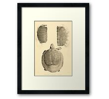 The Reptiles of British India by Albert C L G Gunther 1864 0491 Trionyx guntheri, Ornatus, Chitra Indica Turtle Framed Print
