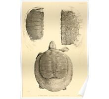 The Reptiles of British India by Albert C L G Gunther 1864 0491 Trionyx guntheri, Ornatus, Chitra Indica Turtle Poster
