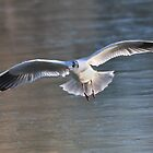 Gull in flight by Shehan Fernando