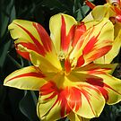 Hybrid Tulips in Yellow and Red by barnsis
