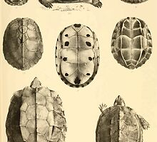 The Reptiles of British India by Albert C L G Gunther 1864 0487 Cuora Amroinensis, Pangshura Tentoria, Pyxidea Mouhoutii, Emys Crassicolis Turtle by wetdryvac